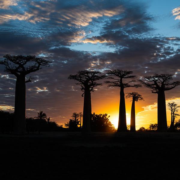 Avenue of Baobabs at sun set