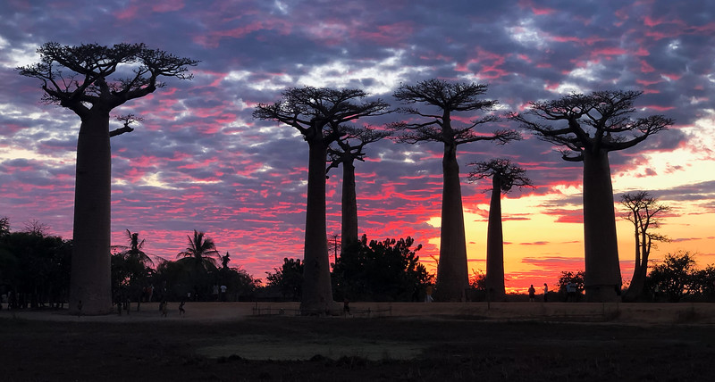 Colorful baobabs
