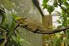 Parson's Chameleon<br /> (Calumma parsonii )