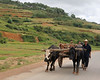 Ox carts are a fuel efficient mode of transport.
