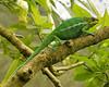Panther Chameleon<br /> (Furcifer pardalis)