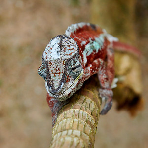 Panther Chameleon Head-On