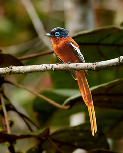 Madagascar Paradise Flycatcher, Rufus Morph