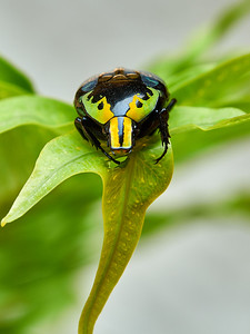 Flower Beetle (Euchroea coelestis)