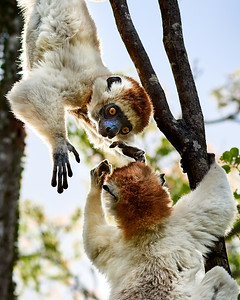 Verreaux's Sifaka, Hanging Around with Company - M
