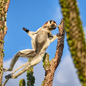 Verreaux's Sifaka, in Flight