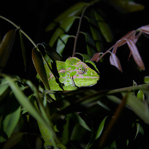 Jeweled Chameleon at Night