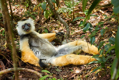 Diademed Sifaka, Relaxing