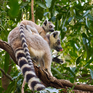 Ring-Tailed Lemur Mom with Youngster on Back - M