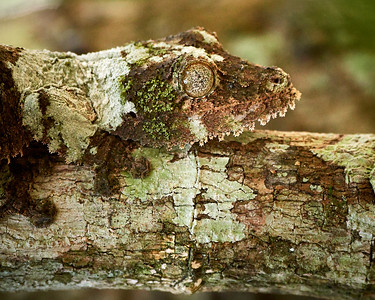 Mossy Leaf-Tailed Gecko - Blending In - M