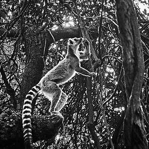 Ring-Tailed Lemur, Backlit
