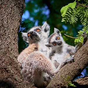 Ring-Tailed Lemur, Mom and Offspring -  M