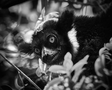 Indri, Portrait - M