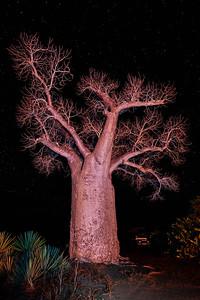 Baobab Tree at NIght