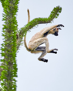 Verreaux's Sifaka, in Flight 2