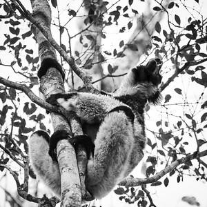 Indri, Calling - M