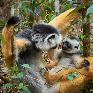 Diademed Sifaka, Mom and Infant - M