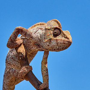 Oustalet's Chameleon, Posing