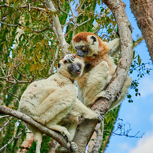 Verreaux's Sifaka Couple: Tender Moment