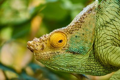 Parson's Chameleon - M