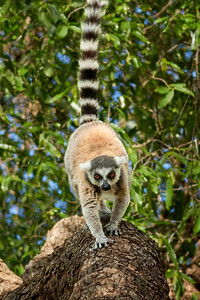 Ring-Tailed Lemur, Heading My Way
