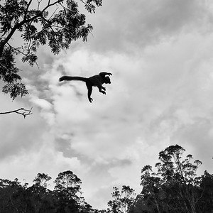 Red-Fronted Brown Lemur in Flight
