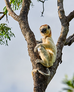 Verreaux's Sifaka, at Rest