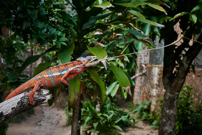 Panther Chameleon, Insect Strike
