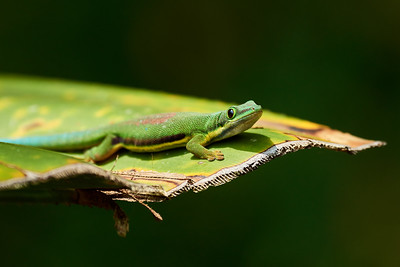 Lined Day Gecko on Leaf - M