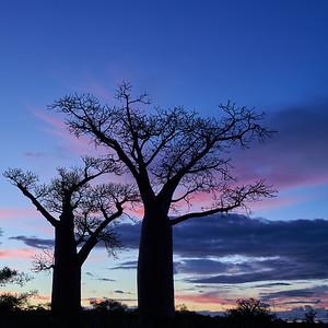 Baobab Trees at Sunset