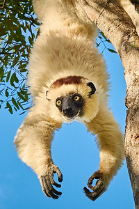 Verreaux's Sifaka, Hanging Around - M