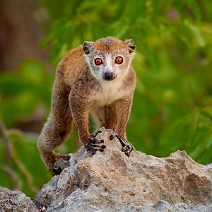 Crowned Lemur, Portrait - M