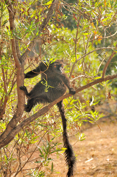 The Black Lemur (Eulemur macaco) lives in moist forests in the Sambirano region of Madagascar and on nearby islands.