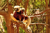 Coquerel's sifaka (Propithecus coquereli) is a diurnal, medium-sized lemur of the sifaka genus Propithecus.  Coquerel's sifaka is found in only two protected areas in Madagascar: the Ankarafantsika National Park and the Bora Special Reserve. It is an endangered species, according to the IUCN's Red List of Threatened Species. The principal threats to its existence are deforestation, habitat fragmentation, and hunting pressure.