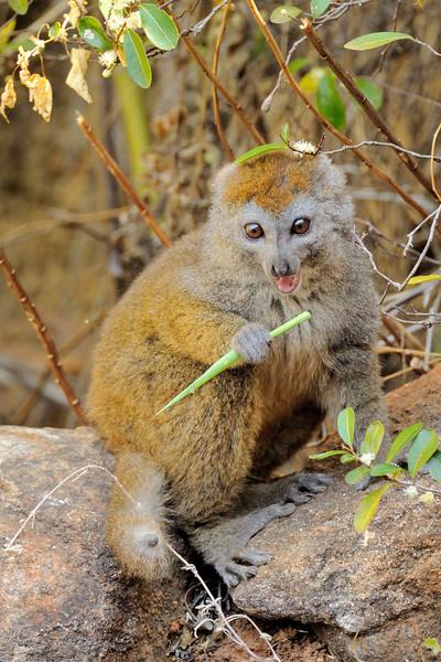 The eastern lesser bamboo lemur (Hapalemur griseus griseus), also known as the gray bamboo lemur, eastern gray bamboo lemur, or gray gentle lemur,