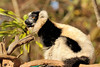 The black-and-white ruffed lemur (Varecia variegata) is the more endangered of the two species of ruffed lemurs. Despite having a larger range than the red ruffed lemur, it has a much smaller population that is spread out, living in lower population densities and reproductively isolated. It also has less coverage and protection in large national parks than the red ruffed lemur.