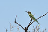 The Madagascar Bee-eater (Merops superciliosus) is the only bee-eater species found in Madagascar.