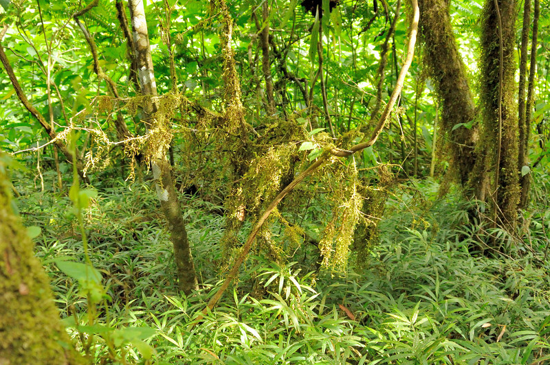 Montagne d'Ambre ecosytem is predominately montane and mid-altitude rainforestand some dry deciduous forest.  The trees are covered with epiphytes especially birdsnest and other ferns.
