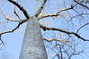 Perrier's Baobab (Adansonia perrieri) is an endangered species in the genus Adansonia.