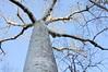 Perrier's Baobab (Adansonia perrieri) is an endangered species in the genus Adansonia.