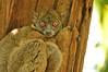 The Daraina sportive lemur (Lepilemur milanoii)