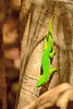 Madagascar day gecko (Phelsuma madagascariensis madagascariensis) is a diurnal subspecies of geckos. It lives on the eastern coast of Madagascar and typically inhabits rainforests and dwells on trees. The Madagascar day gecko feeds on insects and nectar.