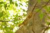 Sakalava's Velvet Gecko, Homopholis sakalava