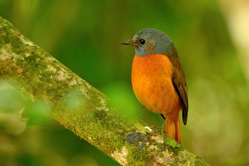 The Amber Mountain Rock Thrush (Monticola erythronotus) is a songbird in the family Muscicapidae.  Its natural habitats are subtropical or tropical moist lowland forests and subtropical or tropical moist montane forests. It is threatened by habitat loss.