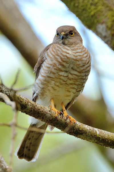 The Madagascar Sparrowhawk (Accipiter madagascariensis) is a species of bird of prey in the Accipitridae family.  Its natural habitats are subtropical or tropical dry forests, subtropical or tropical moist lowland forests, subtropical or tropical moist montane forests, dry savanna, and subtropical or tropical dry shrubland.  It is threatened by habitat loss.