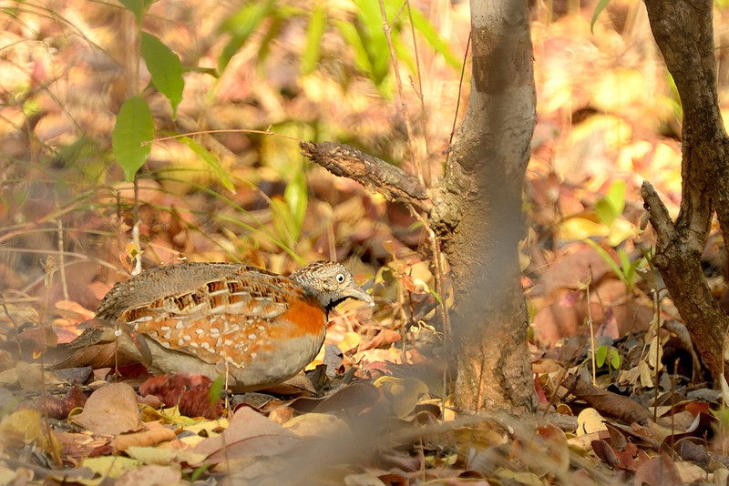 The Madagascar Buttonquail (Turnix nigricollis) is a species of bird in the buttonquail family Turnicidae. It is endemic to Madagascar.