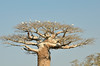 Za Baobab, (Adansonia za) is endemic to Southern and North-Western Madagascar, where it is threatened by habitat loss.