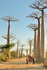 Along the Avenue or Alley of the Baobabs  in a 260 m long segment are  20 - 25 Grandidier's Baobabs about 30 meters in height.  Nearby, in the rice paddies and meadows grow some 20 - 25 more trees