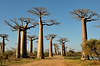 The Avenue or Alley of the Baobabs' striking landscape draws travelers from around the world, making it one of the most visited locations in the region.