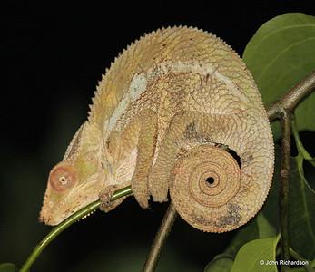Calumma Parsoniia sleeping